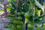 เทคโนโลยีการปลูกมะนาวบนต้นตอมะขวิด